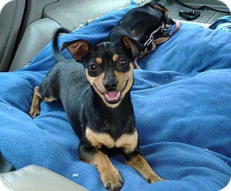 Miniature Pinscher/Dachshund Mix Dog for adoption in Bellflower, California - Eddie