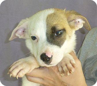 Australian Shepherd/Border Collie Mix Puppy for adoption in Oviedo, Florida - Mikey