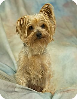 Yorkie, Yorkshire Terrier Dog for adoption in Anchorage, Alaska - Willow