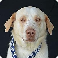 Adopt A Pet :: Anthony Hopkins - Plano, TX
