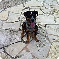 Adopt A Pet :: Cody - Conway, AR