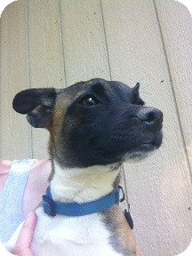 Jack Russell Terrier/Terrier (Unknown Type, Small) Mix Puppy for adoption in Baltimore, Maryland - Perry