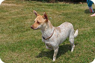 Chihuahua/Halden Hound (Haldenstrover) Mix Dog for adoption in Tumwater, Washington - Sparkels