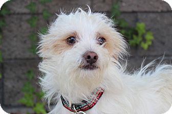 Terrier (Unknown Type, Small)/Jack Russell Terrier Mix Dog for adoption in Encino, California - Skipper