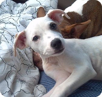 Hound (Unknown Type)/Jack Russell Terrier Mix Puppy for adoption in Orange Lake, Florida - Sugar Pie