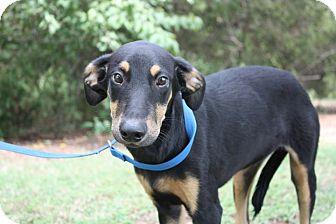 Doberman Pinscher Mix Dog for adoption in Conway, Arkansas - Mya