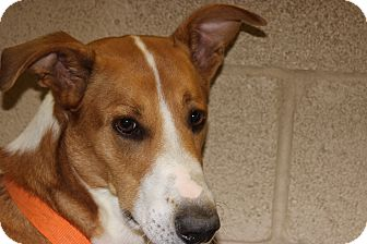 Foxhound Dog for adoption in Coventry, Rhode Island - Copper