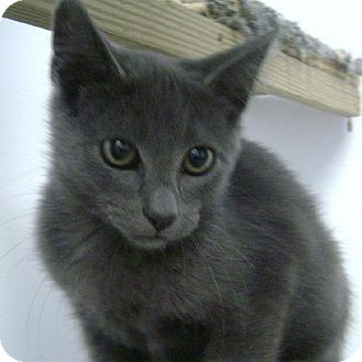 Domestic Shorthair Kitten for adoption in Knoxville, Iowa - Nala