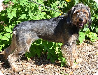 Schnauzer (Standard)/Airedale Terrier Mix Dog for adoption in Michigan City, Indiana - Madison