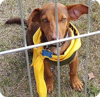 Beagle/Dachshund Mix Puppy for adoption in Norfolk, Virginia - Peanut