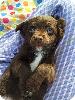 Dachshund/Chihuahua Mix Puppy for adoption in Grass Valley, California - Chewy
