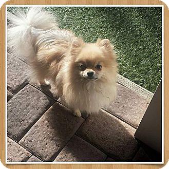 Pomeranian Dog for adoption in San Diego, California - Mia