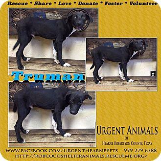 Border Collie/Labrador Retriever Mix Puppy for adoption in Hearne, Texas - Truman