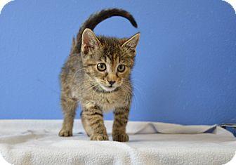 Domestic Shorthair Kitten for adoption in Buena Vista, Colorado - Lil' Nickel