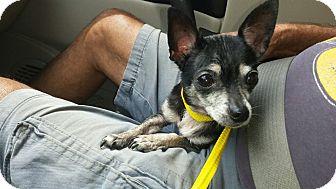 Chihuahua Dog for adoption in Shallotte, North Carolina - Tulip