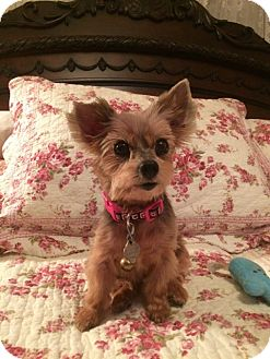 Yorkie, Yorkshire Terrier Dog for adoption in Boca Raton, Florida - Sophie