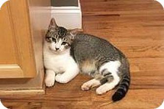 Domestic Shorthair Kitten for adoption in Buford, Georgia - Bobo - MUST see VIDEO