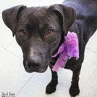 Labrador Retriever Mix Dog for adoption in Yukon, Oklahoma - Pepper