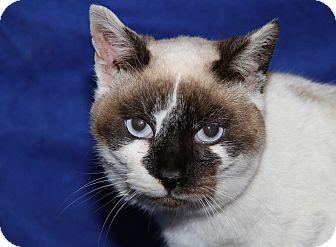 Snowshoe Cat for adoption in Marietta, Ohio - Snow Angel (FIV+) (Spayed)