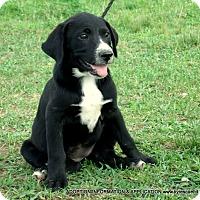 Adopt A Pet :: Aspen - parissipany, NJ