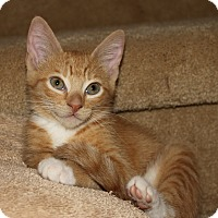 Adopt A Pet :: Flame - Apex, NC