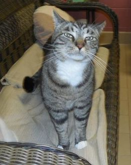 Domestic Shorthair/Domestic Shorthair Mix Cat for adoption in Jackson, Michigan - Toby