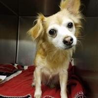 Pomeranian/Chihuahua Mix Dog for adoption in justin, Texas - Baby Cakes