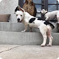 Adopt A Pet :: Lottie - Los Angeles, CA