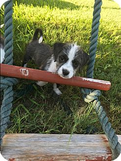Terrier (Unknown Type, Small) Mix Puppy for adoption in Vancouver, British Columbia - Viola