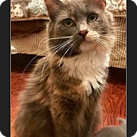 Maine Coon Cat for adoption in Newtown, Connecticut - Jezebel