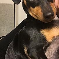 Adopt A Pet :: Piolin - Encino, CA