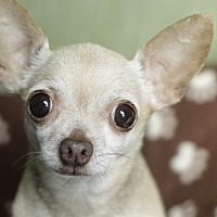 Adopt A Pet :: Amos - Romeoville, IL