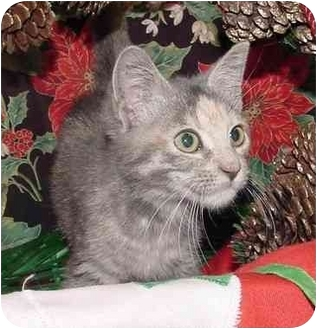 Domestic Shorthair Kitten for adoption in Brenham, Texas - Cheri