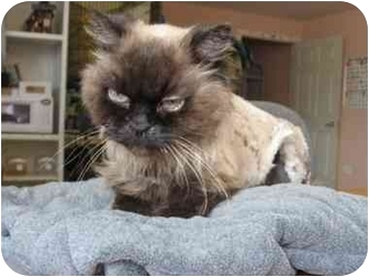 Himalayan Cat for adoption in Davis, California - Frosty