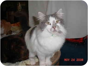 Domestic Longhair Cat for adoption in Pendleton, Oregon - Pierre