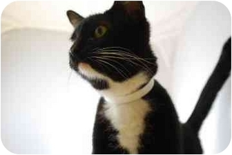 Domestic Shorthair Cat for adoption in North Charleston, South Carolina - Oreo