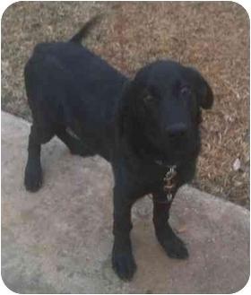Labrador Retriever Mix Puppy for adoption in Haughton, Louisiana - Titan