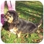 Photo 4 - Dachshund/Cocker Spaniel Mix Dog for adoption in Bloomsburg, Pennsylvania - Mindy