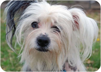Chinese Crested Dog for adoption in Whitewright, Texas - Remi
