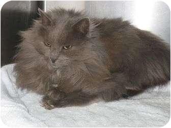 Domestic Longhair Cat for adoption in Newark, Delaware - Tinker