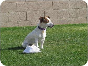 Jack Russell Terrier Dog for adoption in Scottsdale, Arizona - EDDIE