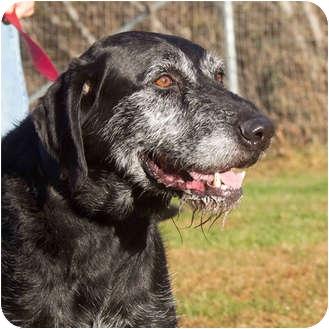 Labrador Retriever/German Wirehaired Pointer Mix Dog for adoption in Sacramento, California - Capt Black