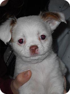 Chihuahua Mix Puppy for adoption in Groton, Massachusetts - Nova