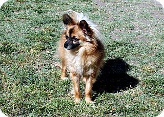Pomeranian/Papillon Mix Dog for adoption in Lodi, California - Zeek