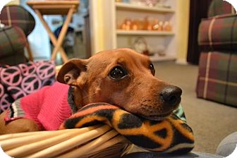 Miniature Pinscher/Chihuahua Mix Dog for adoption in Knoxville, Tennessee - Robin