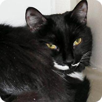Domestic Mediumhair Cat for adoption in Denver, Colorado - Moonlight