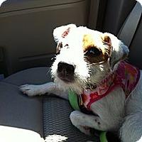 Adopt A Pet :: Sassy in Wichita Falls - Oklahoma City, OK