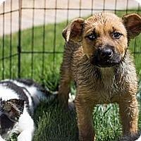 Adopt A Pet :: BENTLEY - Phoenix, AZ