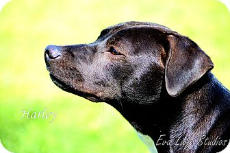 Labrador Retriever Mix Dog for adoption in Brenham, Texas - Harley