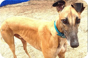 Greyhound Dog for adoption in Pearl River, Louisiana - Story